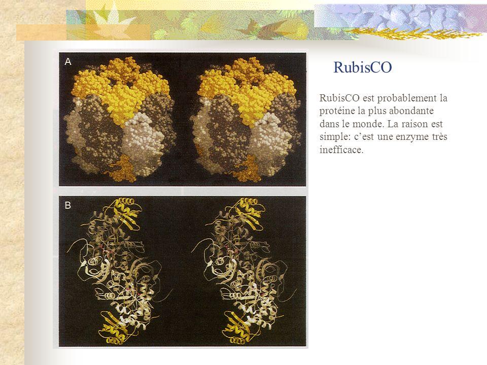 RubisCO RubisCO est probablement la protéine la plus abondante dans le monde. La raison est simple: cest une enzyme très inefficace.