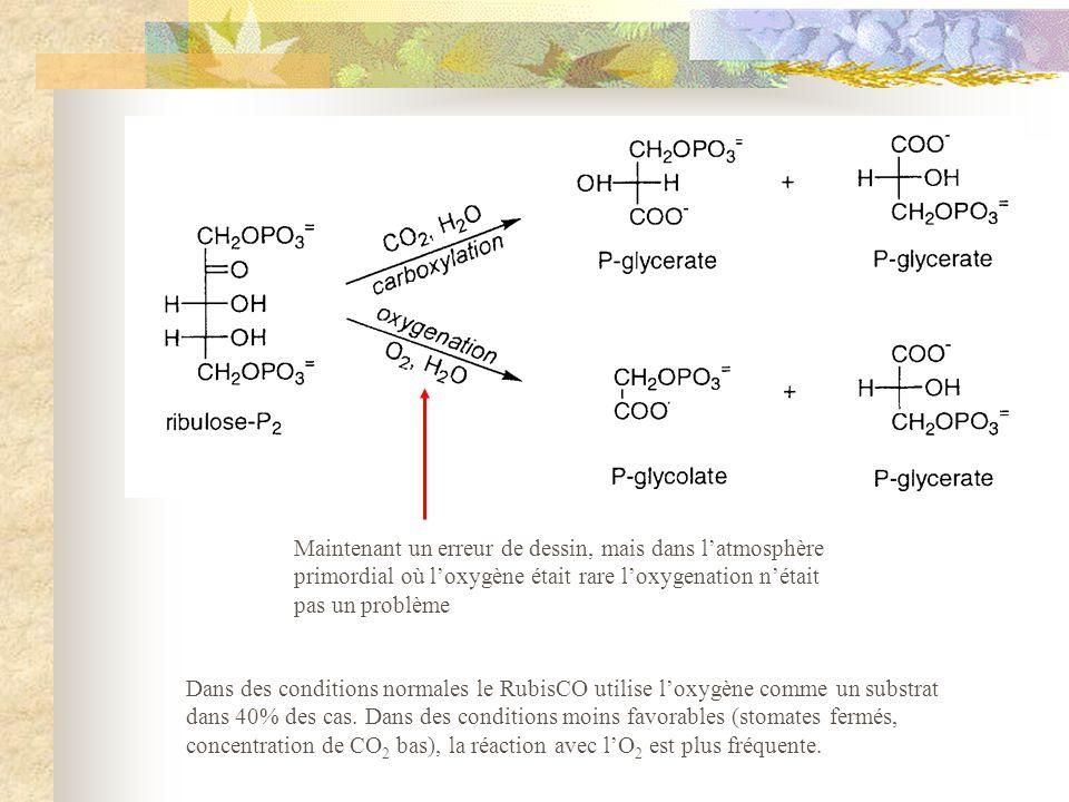 Dans des conditions normales le RubisCO utilise loxygène comme un substrat dans 40% des cas. Dans des conditions moins favorables (stomates fermés, co