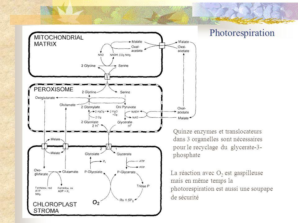 Photorespiration La réaction avec O 2 est gaspilleuse mais en même temps la photorespiration est aussi une soupape de sécurité Quinze enzymes et trans