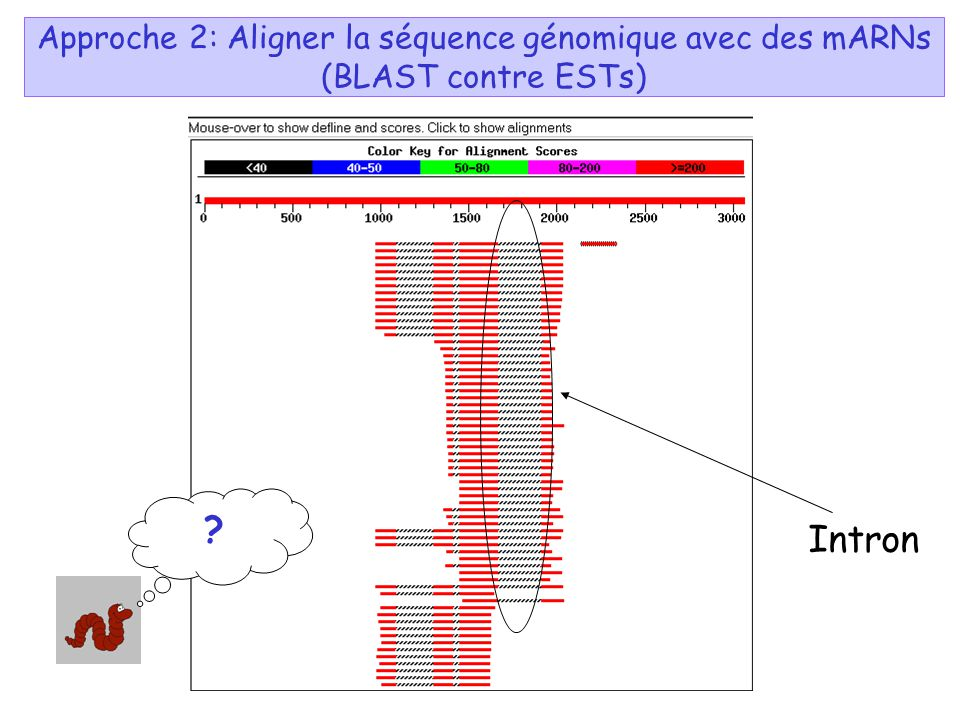 Approche 2: Aligner la séquence génomique avec des mARNs (BLAST contre ESTs) Intron ?