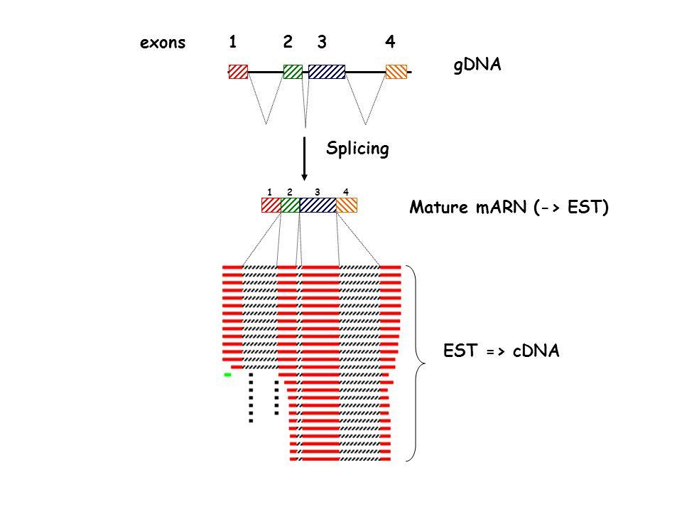 EST => cDNA gDNA exons1234 Splicing Mature mARN (-> EST) 1234