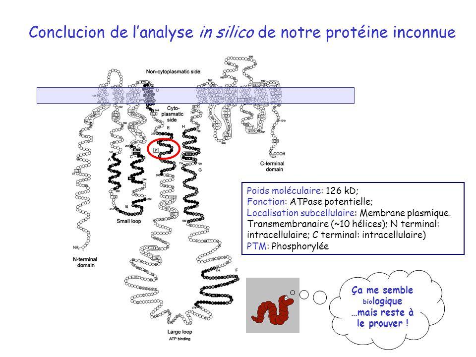 Conclucion de lanalyse in silico de notre protéine inconnue Poids moléculaire: 126 kD; Fonction: ATPase potentielle; Localisation subcellulaire: Membr