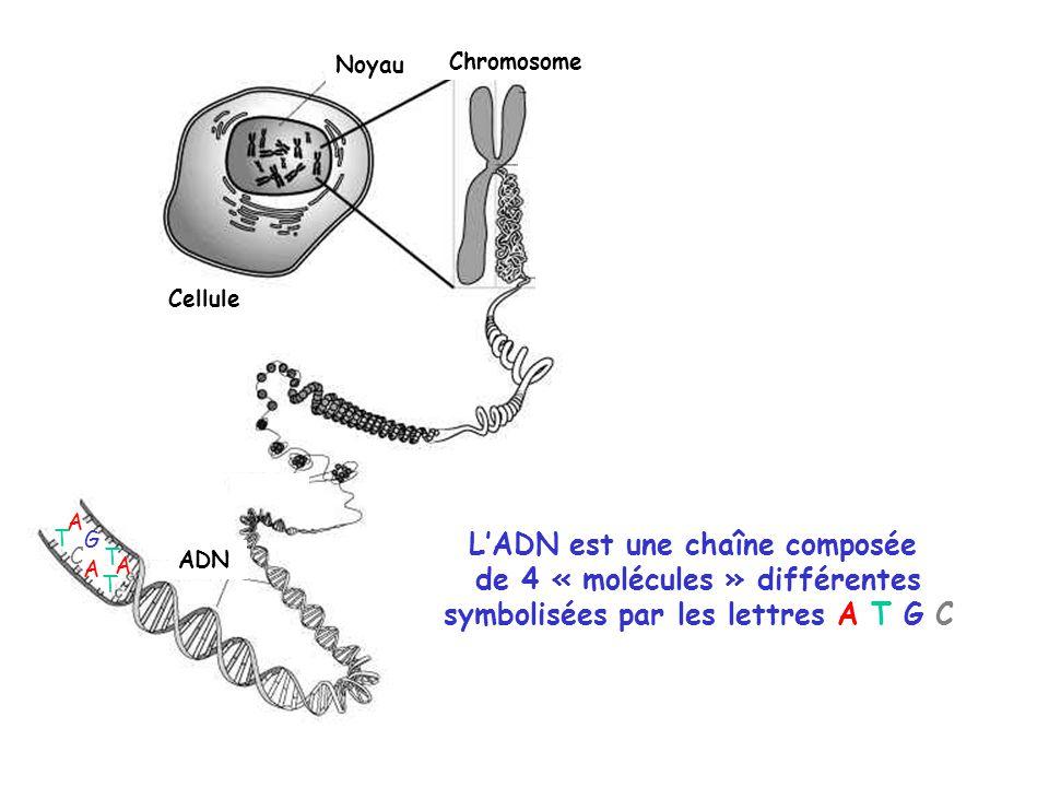 Cellule Noyau Chromosome ADN LADN est une chaîne composée de 4 « molécules » différentes symbolisées par les lettres A T G C A T G C T A A T