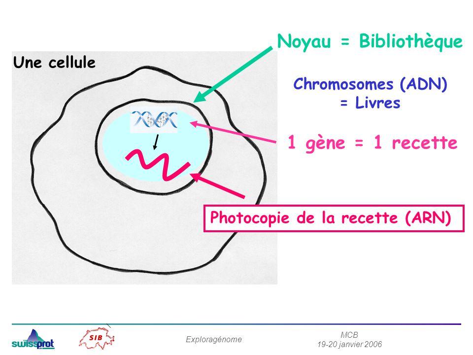 MCB 19-20 janvier 2006 Exploragénome Noyau = Bibliothèque Chromosomes (ADN) = Livres 1 gène = 1 recette Photocopie de la recette (ARN) Une cellule