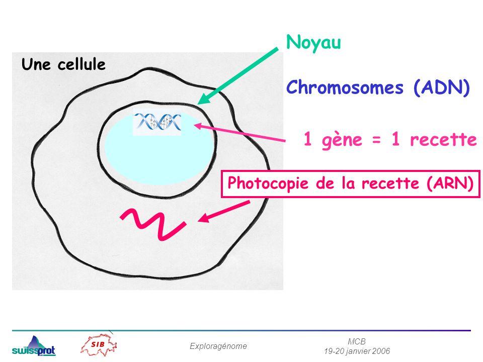 MCB 19-20 janvier 2006 Exploragénome Noyau Chromosomes (ADN) 1 gène = 1 recette Photocopie de la recette (ARN) Une cellule
