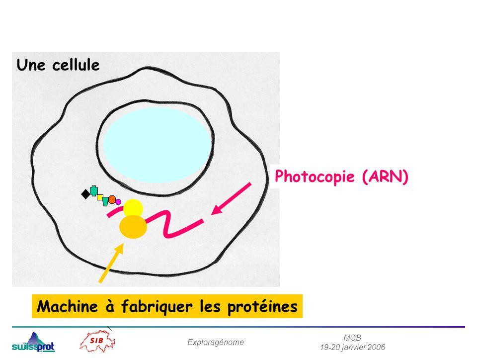 MCB 19-20 janvier 2006 Exploragénome Photocopie (ARN) Machine à fabriquer les protéines Une cellule