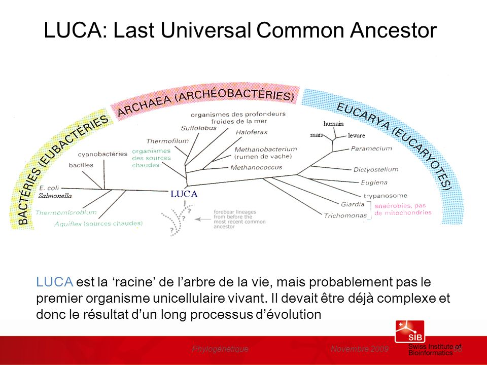 Novembre 2009Phylogénétique68 LUCA: Last Universal Common Ancestor LUCA est la racine de larbre de la vie, mais probablement pas le premier organisme