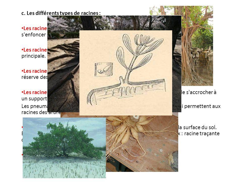 c. Les différents types de racines : Les racines pivotantes : Ce sont de grosses racines qui permettent à la plante de s'enfoncer profondément dans le