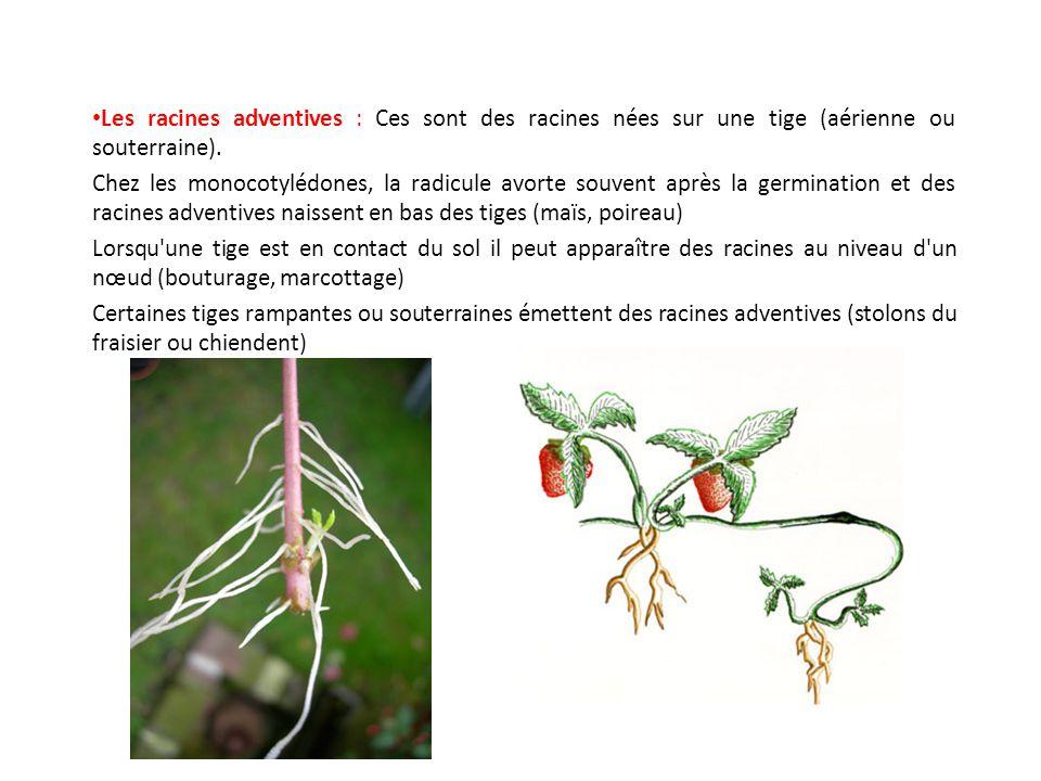 Les racines adventives : Ces sont des racines nées sur une tige (aérienne ou souterraine). Chez les monocotylédones, la radicule avorte souvent après