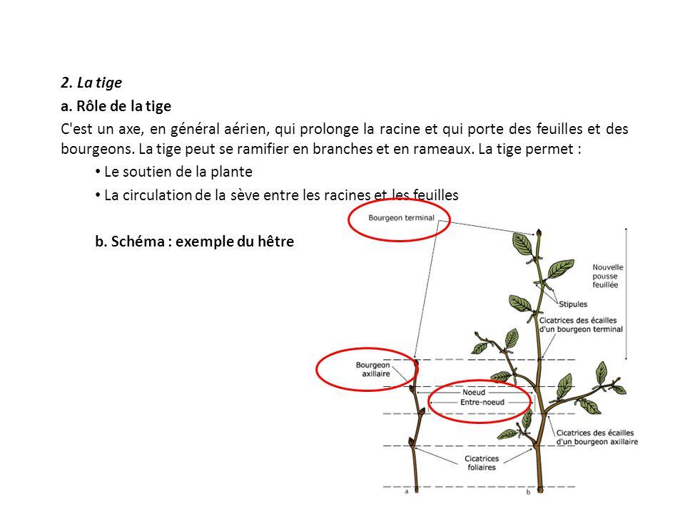 2. La tige a. Rôle de la tige C'est un axe, en général aérien, qui prolonge la racine et qui porte des feuilles et des bourgeons. La tige peut se rami