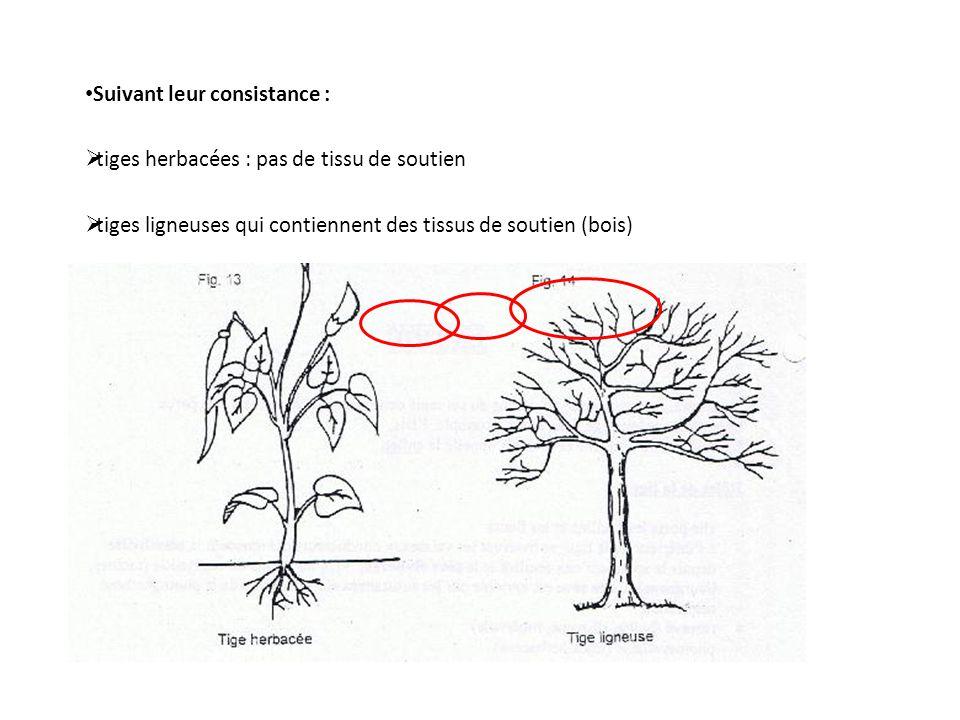 Suivant leur consistance : tiges herbacées : pas de tissu de soutien tiges ligneuses qui contiennent des tissus de soutien (bois)