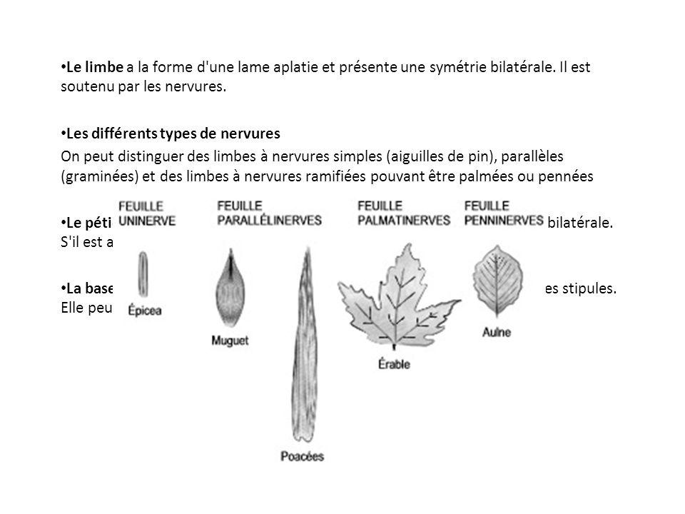 Le limbe a la forme d'une lame aplatie et présente une symétrie bilatérale. Il est soutenu par les nervures. Les différents types de nervures On peut