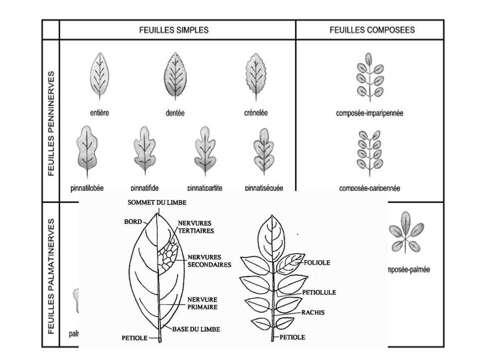 c. Classification des feuilles Suivant la division du limbe : feuilles simples : le limbe est entier (ficus, lilas, cerisier…) feuilles composées palm