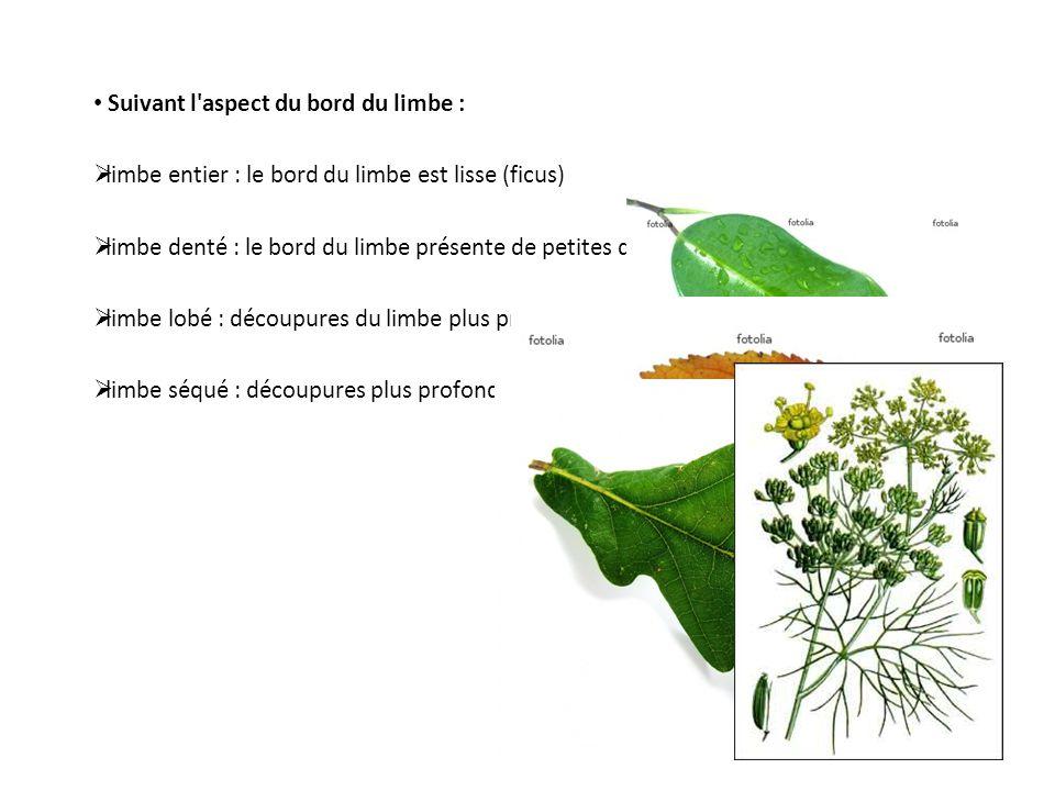 Suivant l'aspect du bord du limbe : limbe entier : le bord du limbe est lisse (ficus) limbe denté : le bord du limbe présente de petites découpures (c
