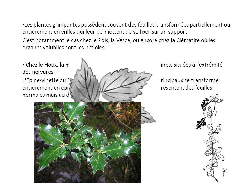 Les plantes grimpantes possèdent souvent des feuilles transformées partiellement ou entièrement en vrilles qui leur permettent de se fixer sur un support C est notamment le cas chez le Pois, la Vesce, ou encore chez la Clématite où les organes volubiles sont les pétioles.