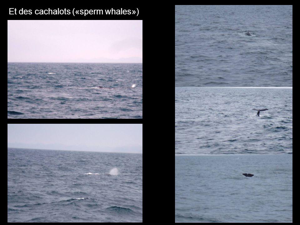 Et des cachalots («sperm whales»)