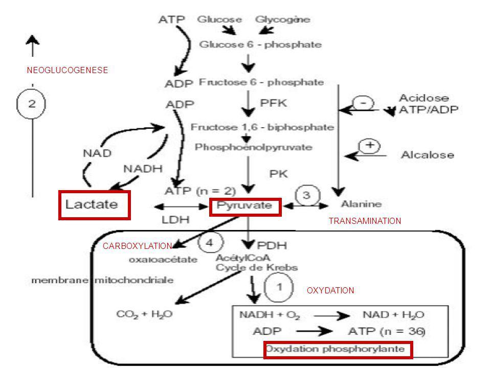 OXYDATION CARBOXYLATION NEOGLUCOGENESE TRANSAMINATION