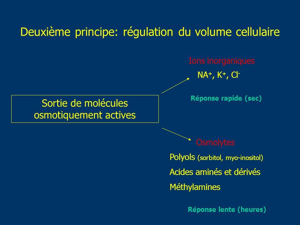 Deuxième principe: régulation du volume cellulaire Sortie de molécules osmotiquement actives NA +, K +, Cl - Ions inorganiques Osmolytes Réponse rapid