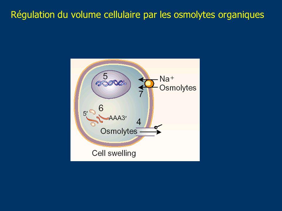 Régulation du volume cellulaire par les osmolytes organiques