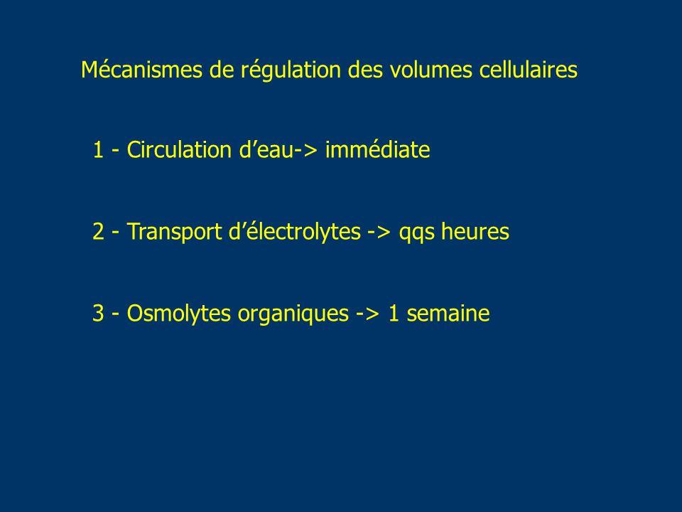 1 - Circulation deau-> immédiate 2 - Transport délectrolytes -> qqs heures 3 - Osmolytes organiques -> 1 semaine Mécanismes de régulation des volumes