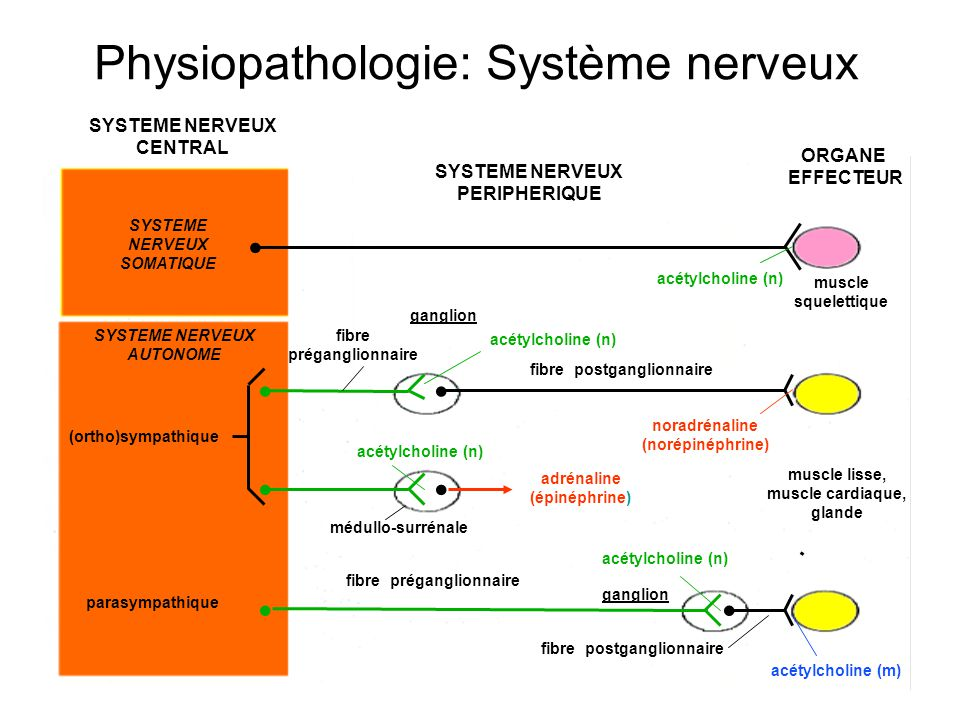 SYSTEME NERVEUX CENTRAL SYSTEME NERVEUX SOMATIQUE SYSTEME NERVEUX AUTONOME (ortho)sympathique parasympathique SYSTEME NERVEUX PERIPHERIQUE ORGANE EFFECTEUR acétylcholine (n) acétylcholine (m) fibre postganglionnaire fibre préganglionnaire médullo-surrénale adrénaline (épinéphrine) noradrénaline (norépinéphrine) fibre postganglionnaire fibre préganglionnaire muscle lisse, muscle cardiaque, glande muscle squelettique acétylcholine (n) ganglion Physiopathologie: Système nerveux