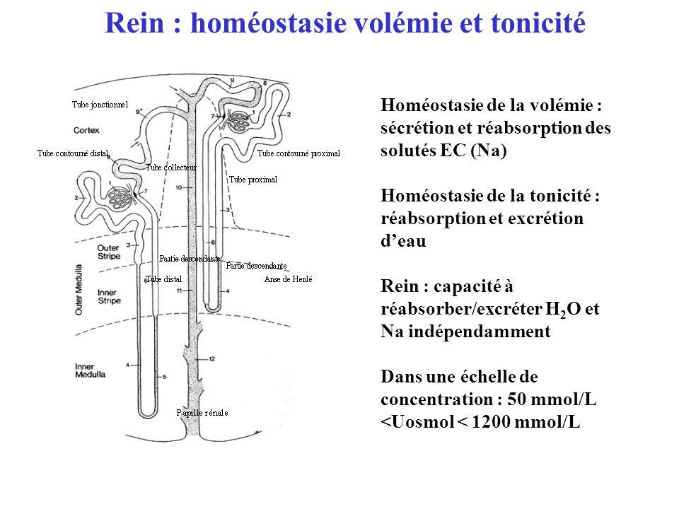 Homéostasie de la volémie : sécrétion et réabsorption des solutés EC (Na) Homéostasie de la tonicité : réabsorption et excrétion deau Rein : capacité