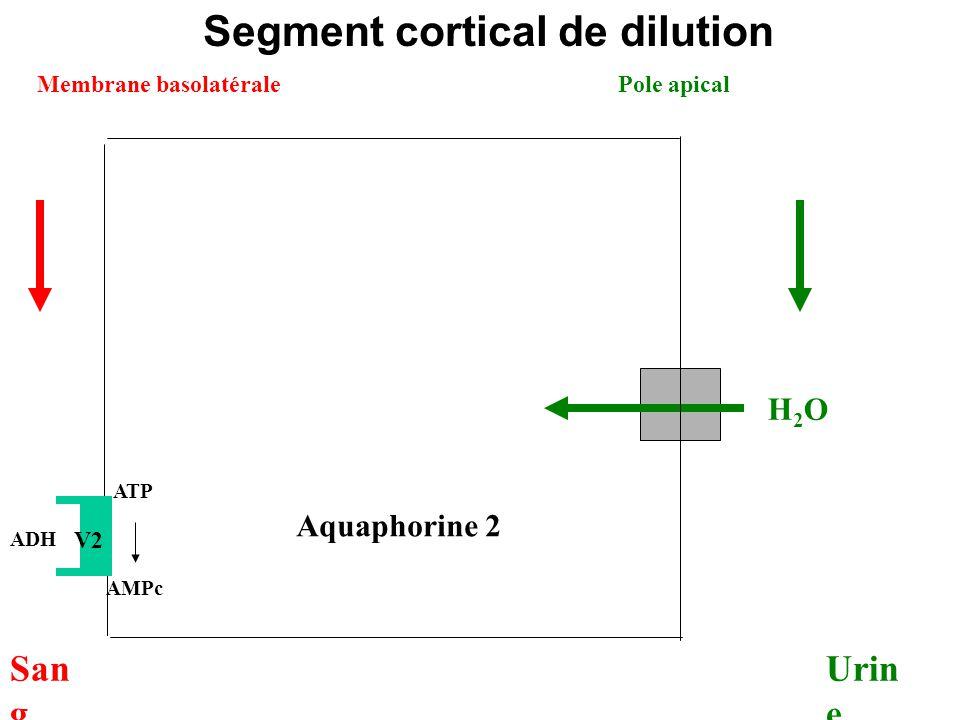 ADH ATP AMPc Aquaphorine 2 H2O H2O Membrane basolatérale Urin e Pole apical San g Segment cortical de dilution V2