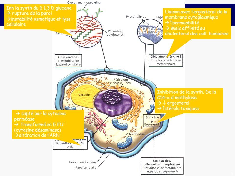 6 Liaison avec lergosterol de la membrane cytoplasmique permeabilité Mais affinité au cholesterol des cell. humaines Inhibition de la synth. De la C14