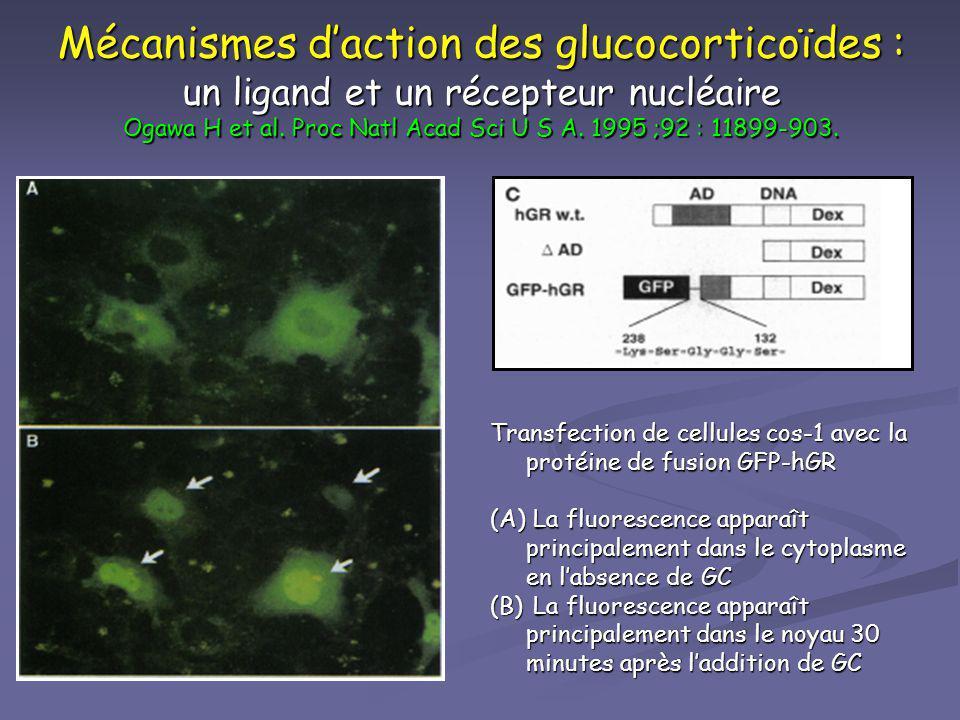 Mécanismes daction des glucocorticoïdes : un ligand et un récepteur nucléaire Ogawa H et al. Proc Natl Acad Sci U S A. 1995 ;92 : 11899-903. Transfect