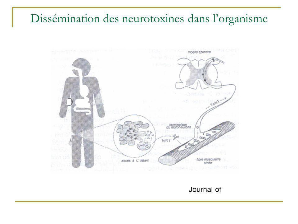 Physiopathologie (2) Fixation de la toxine sur gangliosides, Inhibition de la libération de GABA, Absence de contrôle inhibiteur sur motoneurone alpha, Augmentation de la libération dacétylcholine, Augmentation excessive de lactivité des motoneurones, Muscles antagonistes spasmes musculaires,