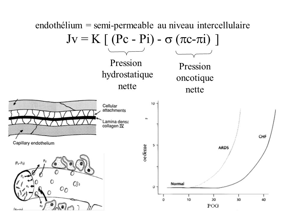 endothélium = semi-permeable au niveau intercellulaire Jv = K [ (Pc - Pi) - ( c- i) ] Pression hydrostatique nette Pression oncotique nette