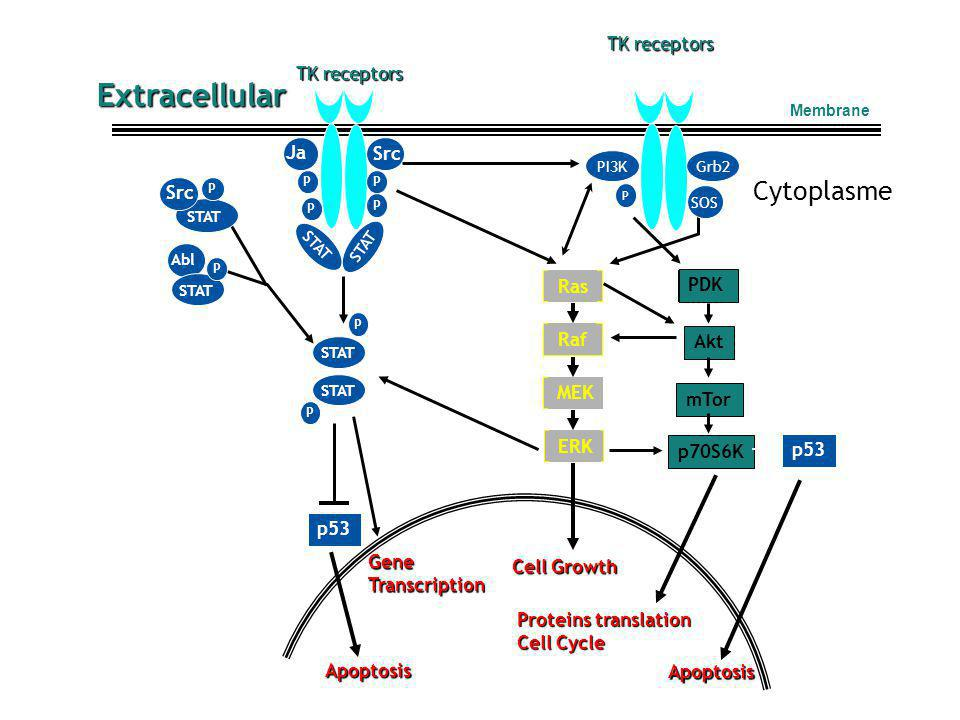 STAT Grb2PI3K P Abl Src Ja k PDK Ras Raf ERK MEK mTor p70S6K Akt p53 STAT P Src P p53 Extracellular Cytoplasme P P P P STAT P P SOS GeneTranscription