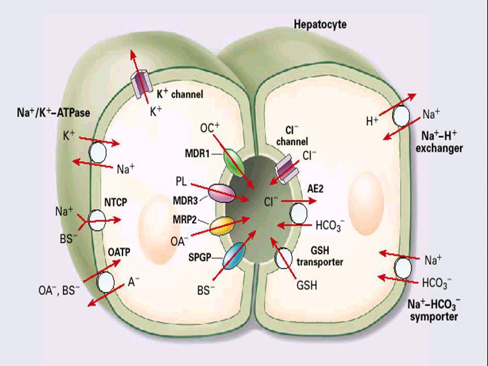 PHYSIOPATHOLOGIE(1) Bile = solution aqueuse ( sels biliaires, phospholipides, électrolytes ) Hépatocyte = cellule bipolaire, pôle apical biliaire, bas