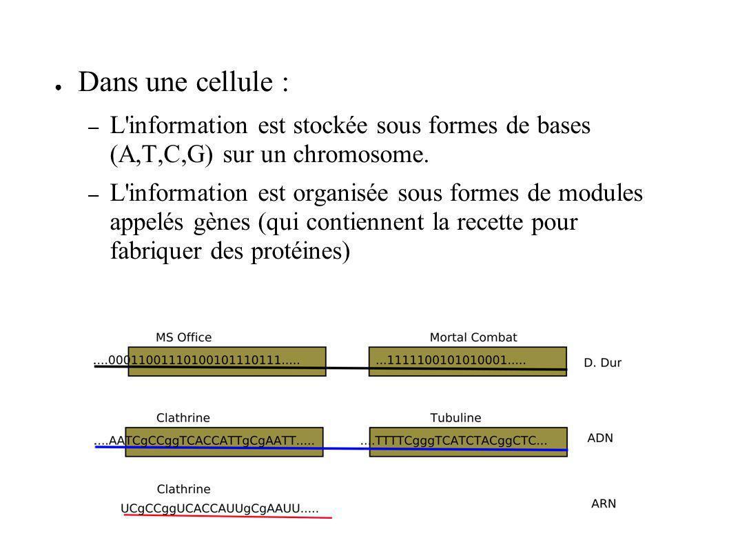 Dans une cellule : – L'information est stockée sous formes de bases (A,T,C,G) sur un chromosome. – L'information est organisée sous formes de modules