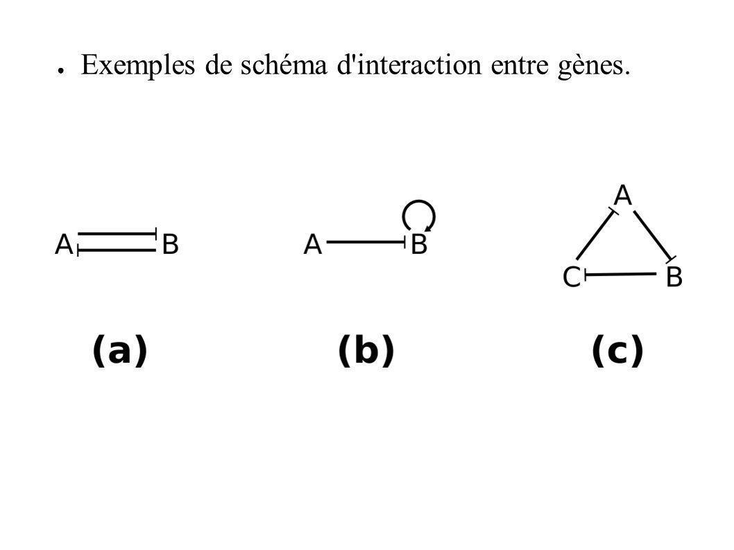 Exemples de schéma d'interaction entre gènes.
