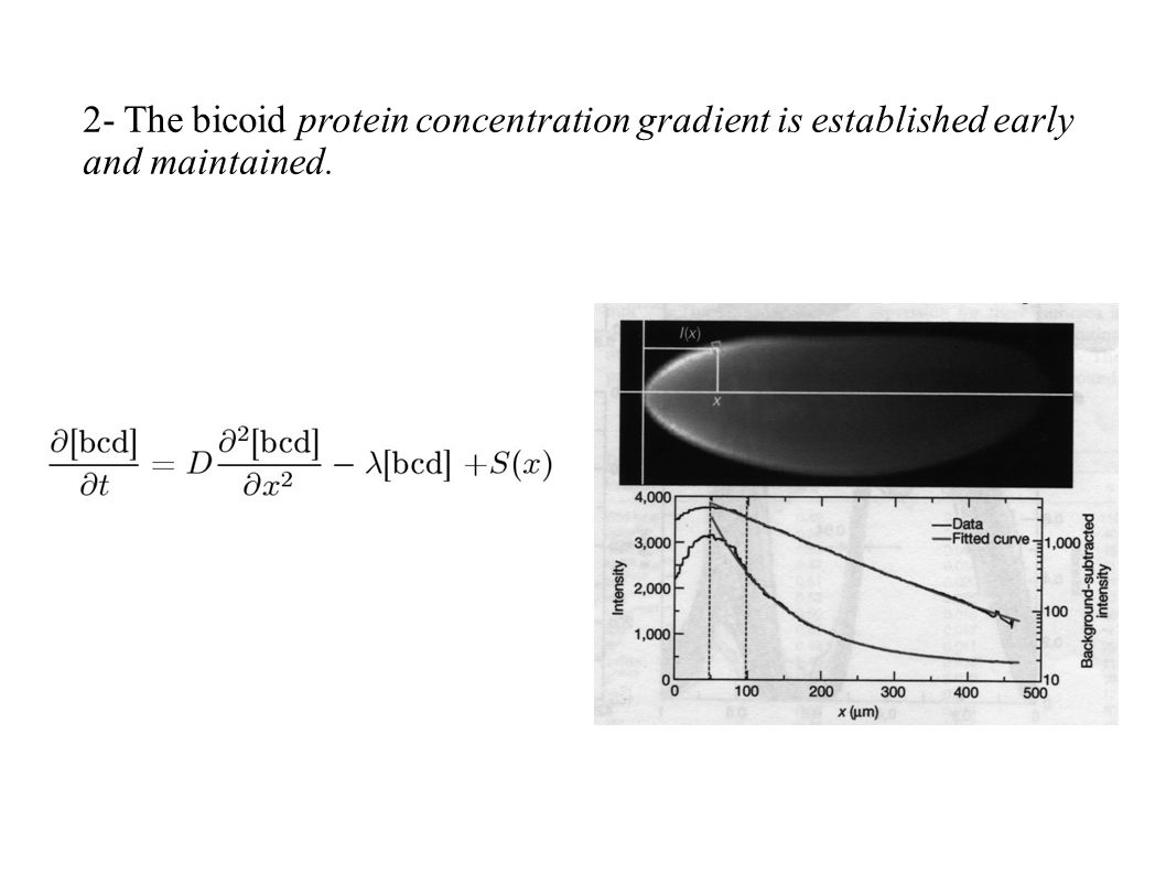 2- The bicoid protein concentration gradient is established early and maintained.