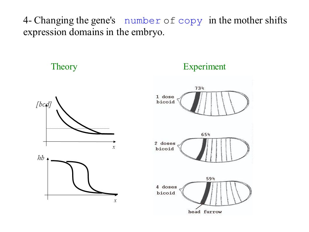 4- Changing the gene's number of copy in the mother shifts expression domains in the embryo. [bcd] x hb x TheoryExperiment