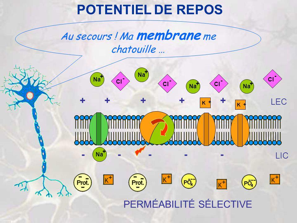 POTENTIEL DE REPOS Au secours ! Ma membrane me chatouille … Na + + + + Cl - - - - + + + + + - - - - - K + K + Na + LEC LIC PERMÉABILITÉ SÉLECTIVE