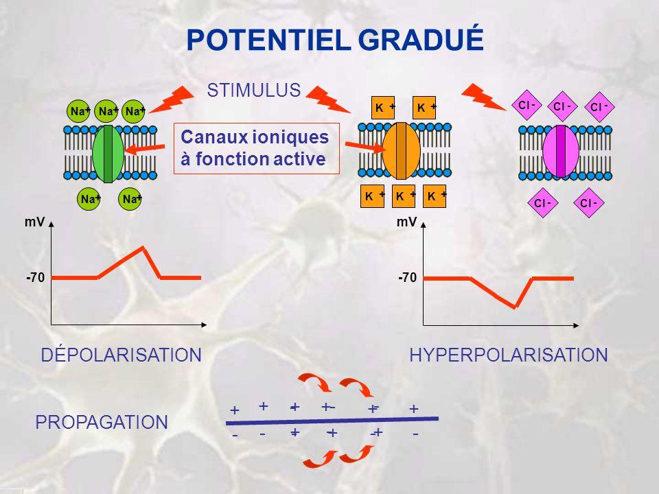 POTENTIEL GRADUÉ Na + Cl - - - Na + + DÉPOLARISATIONHYPERPOLARISATION STIMULUS Na + + K + K + K + K + K + Cl - - Canaux ioniques à fonction active -70