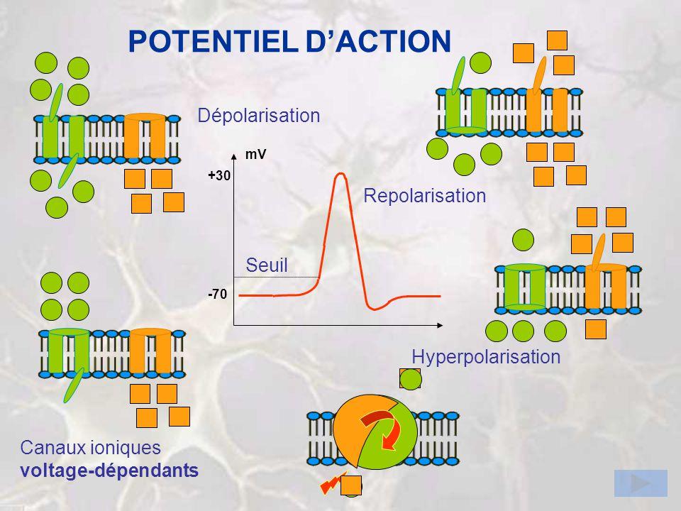 POTENTIEL DACTION Canaux ioniques voltage-dépendants Dépolarisation Repolarisation Hyperpolarisation -70 mV Seuil +30