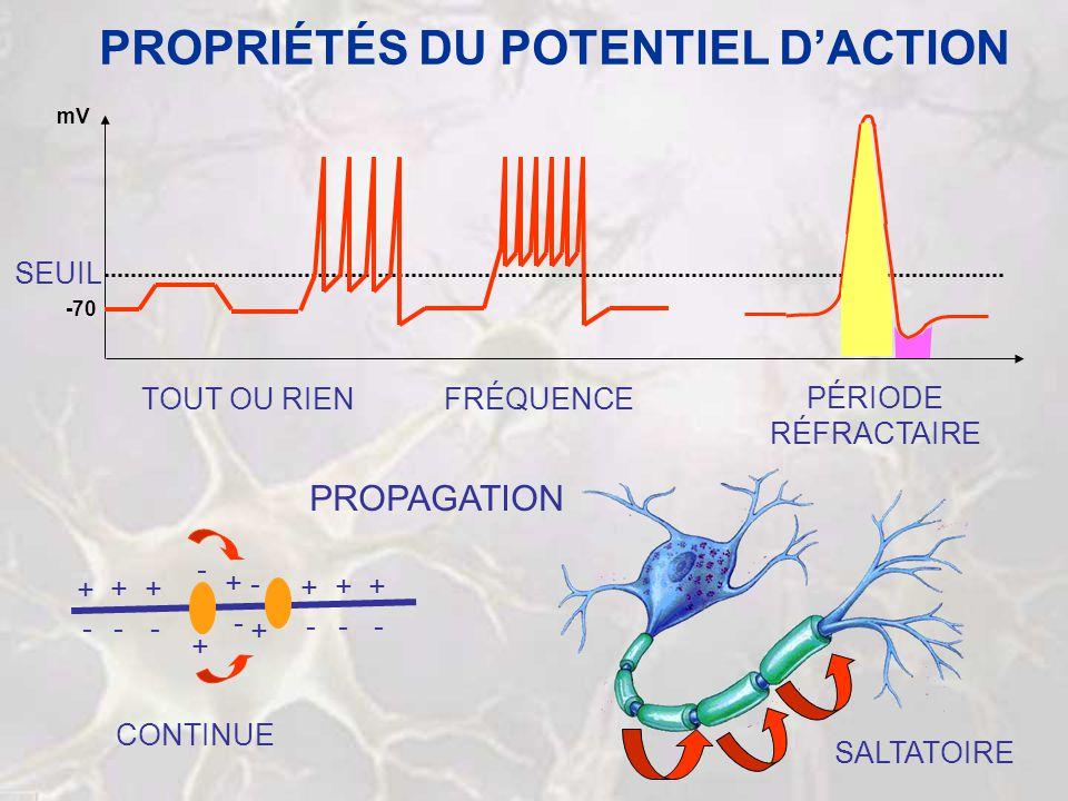 PROPRIÉTÉS DU POTENTIEL DACTION -70 mV SEUIL TOUT OU RIENFRÉQUENCE PÉRIODE RÉFRACTAIRE PROPAGATION SALTATOIRE + + ++ - - - - + ++ - - - + - - + CONTIN