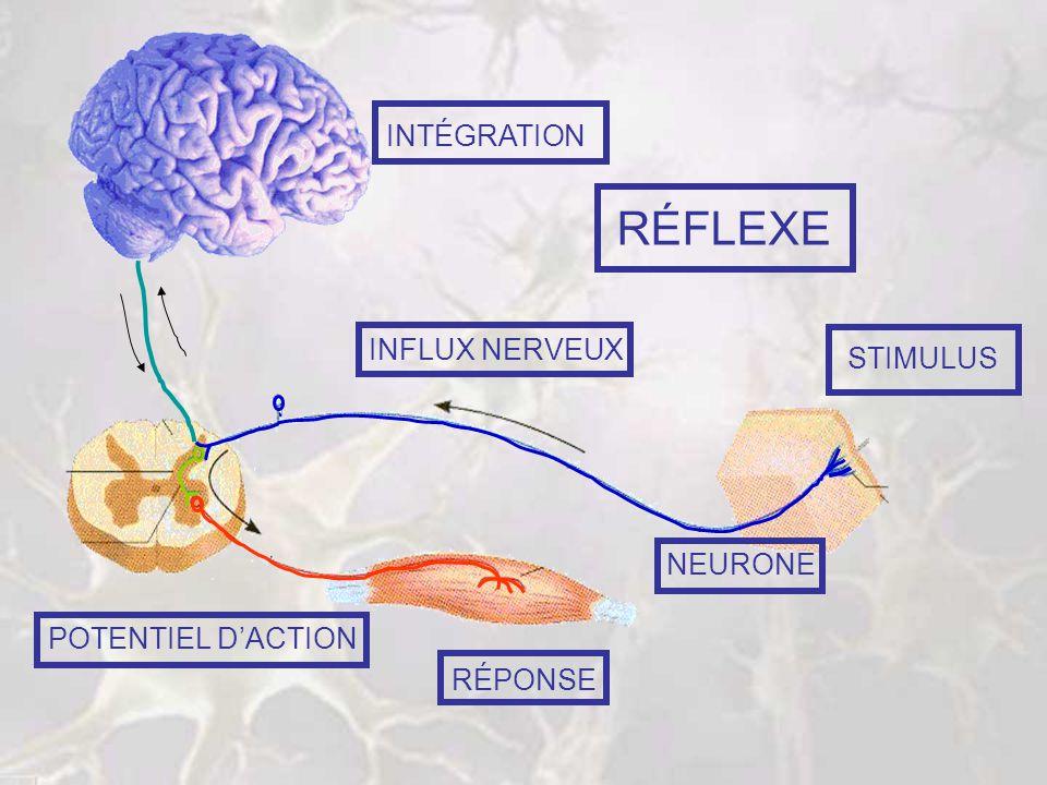 LES CELLULES DU SYSTÈME NERVEUX B – LES NEURONES 1 – STRUCTURE 2 – CLASSIFICATION 3 – PROPRIÉTÉS A – LES CELLULES GLIALES 1 – DANS LE SYSTÈME NERVEUX CENTRAL 2 – DANS LE SYSTÈME NERVEUX PÉRIPHÉRIQUE Voici mes amies…