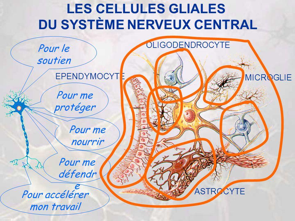 LES CELLULES GLIALES DU SYSTÈME NERVEUX CENTRAL MICROGLIE ASTROCYTE OLIGODENDROCYTE EPENDYMOCYTE Pour me protéger Pour me nourrir Pour me défendr e Po