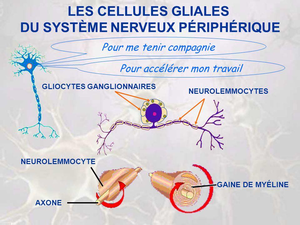LES CELLULES GLIALES DU SYSTÈME NERVEUX PÉRIPHÉRIQUE Pour me tenir compagnie Pour accélérer mon travail NEUROLEMMOCYTES GLIOCYTES GANGLIONNAIRES GAINE