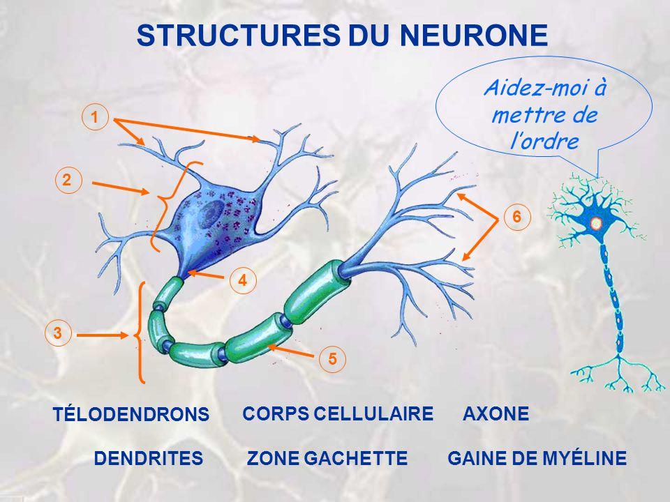 STRUCTURES DU NEURONE Aidez-moi à mettre de lordre 1 2 3 4 5 6 ZONE GACHETTE AXONECORPS CELLULAIRE DENDRITES TÉLODENDRONS GAINE DE MYÉLINE