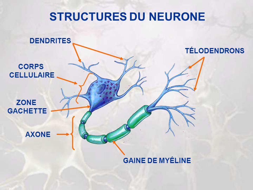 CLASSIFICATION DES NEURONES SÉCRÉTION CONDUCTION RÉCEPTION MULTIPOLAIREBIPOLAIREUNIPOLAIRE AFFÉRENT EFFÉRENT INTERNEURONE