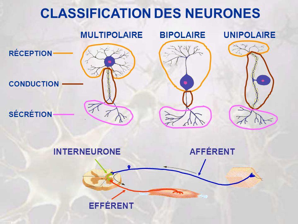 Stimulus Potentiel daction Synapse PPSE/PPSI Potentiel daction Réponse INTÉGRATION Intégration Synapses PPSE/PPSI Potentiel daction AIE !!.