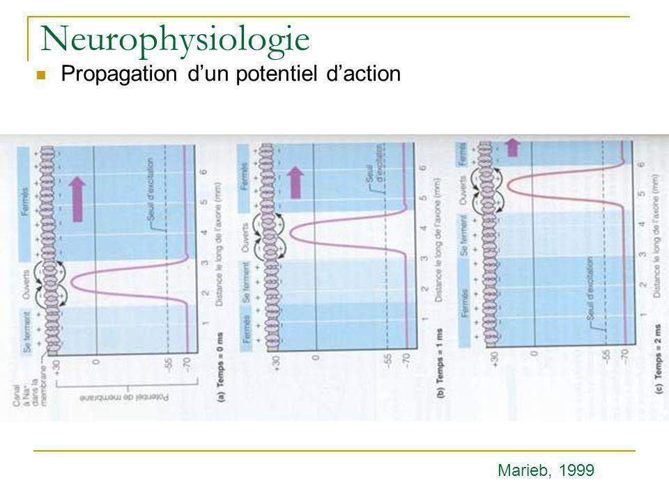 Neurophysiologie Propagation dun potentiel daction Marieb, 1999