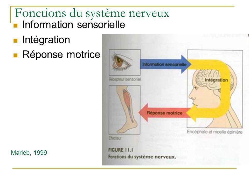 Fonctions du système nerveux Information sensorielle Intégration Réponse motrice Marieb, 1999