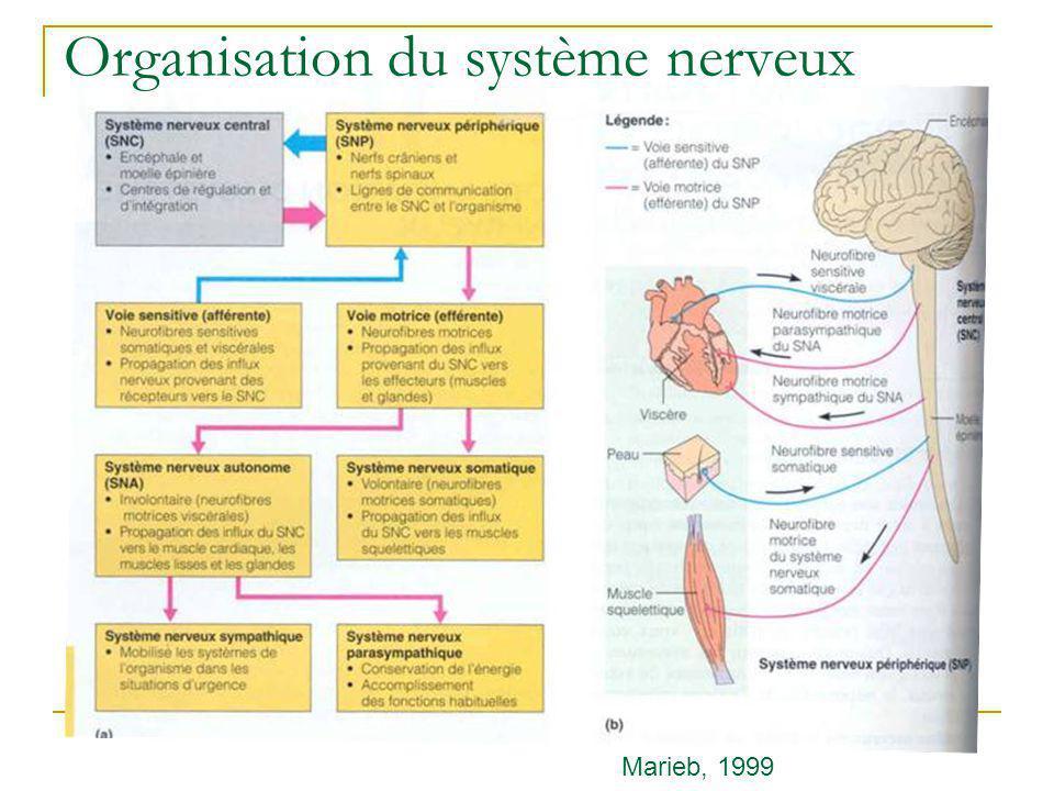 Histologie du système nerveux Gliocytes Gliocytes du SNC Gliocytes du SNP Neurones Marieb, 1999